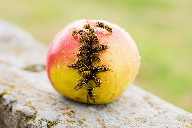apple with wasps