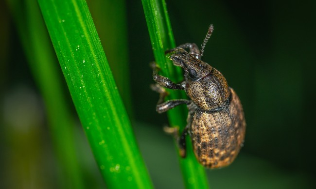 Argentine stem weevil